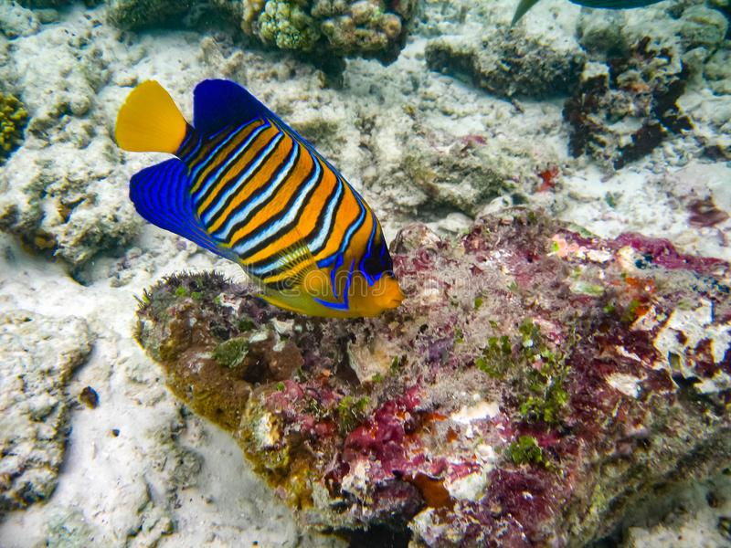 The underwater photo with one colorful angel fish royalty free stock images
