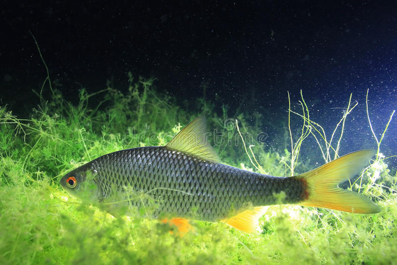 Underwater photo roach fish stock photography