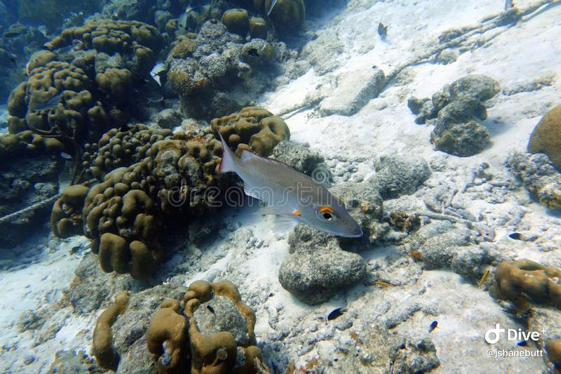 Schoolmaster Snapper fish swimming in the ocean royalty free stock photography