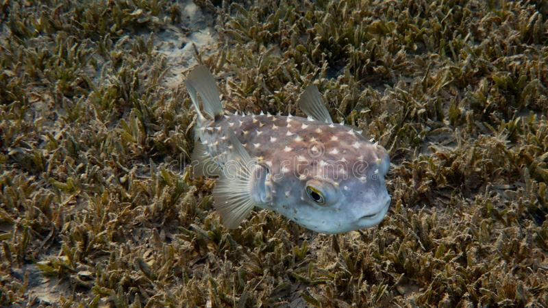 Spiky Pufferfish - Diodon. Underwater photo of a Spiky Pufferfish - Diodon and the seabed covered with grass, Red Sea, Egypt royalty free stock image