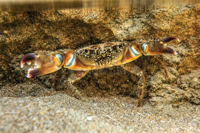 Underwater photo - warty crab Eriphia verrucosa standing on sand, hiding under rock in shallow water, chelae claws spread royalty free stock photos