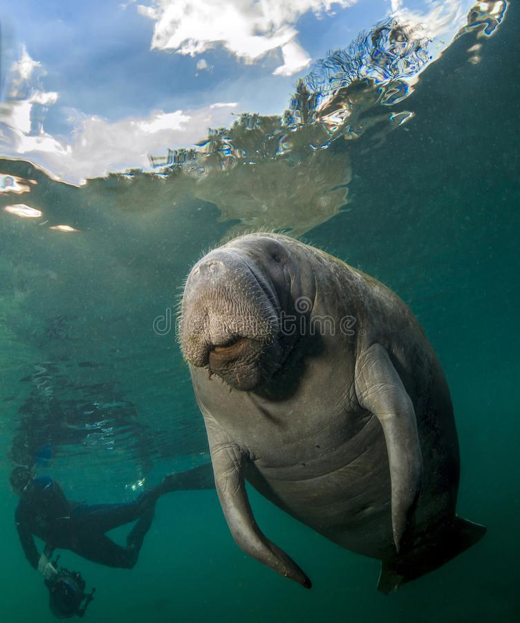 Manatee and underwater photographer. Underwater photograph of Manatee and diver in Crystal River Florida. Clouds and trees visible above the water`s surface royalty free stock images