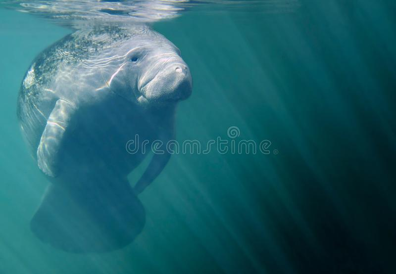 Full Manatee Portrait. Underwater photograph of manatee resting just below the surface in Crystal River Florida stock image