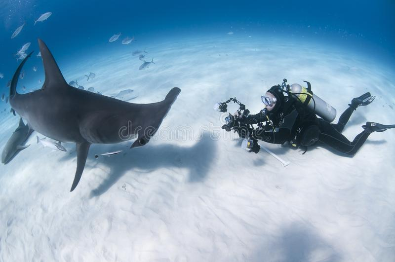 Underwater Photographer Face to Face with Great Hammerhead Shark in Clear Waters of Bahamas royalty free stock photography