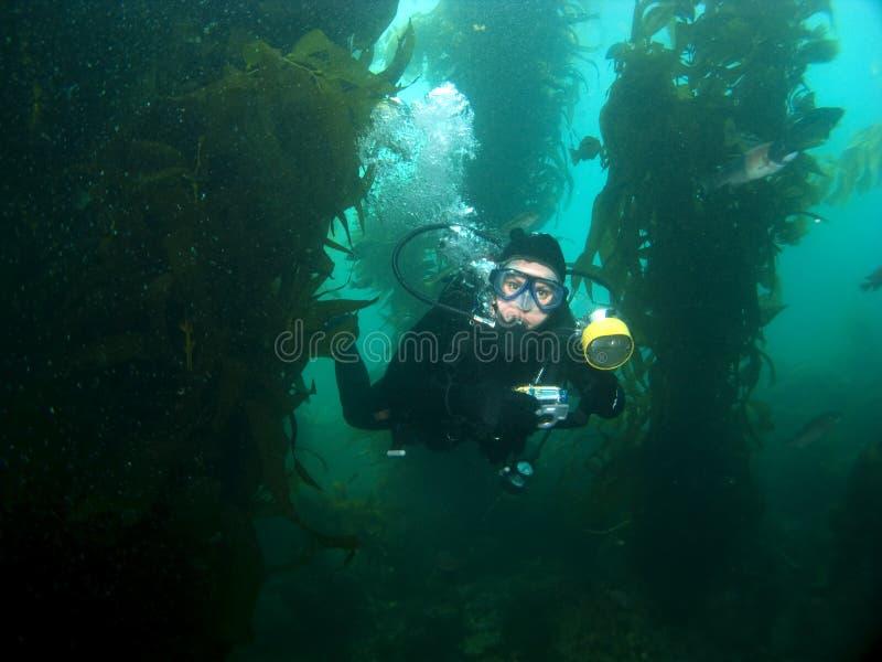 Underwater Photographer swimming through the Kelp. In Catalina royalty free stock photo