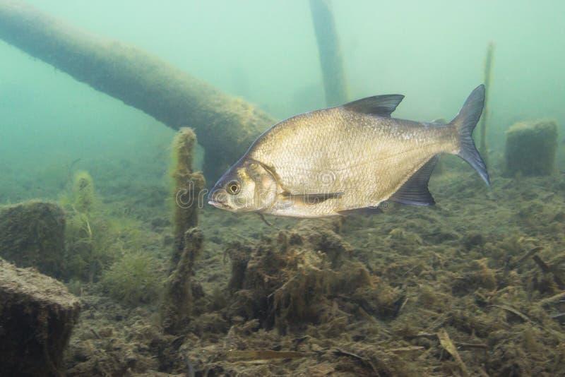 Underwater photography of Carp bream Abramis Brama. Beautiful fish in close up photo. Underwater photography in the wild nature. River habitat. Swimming Common stock image