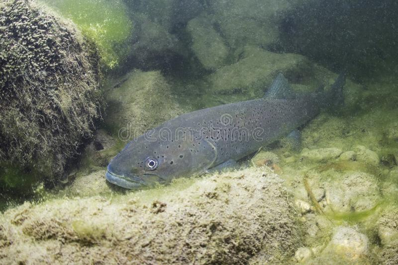 Underwater photography Common huchen Hucho hucho swimming, river habitat. Common huchen Hucho hucho swimming in nice river. Beautiful salmonid fish in close up royalty free stock image