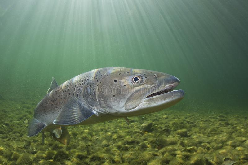 Underwater photography Common huchen Hucho hucho swimming, river habitat. Common huchen Hucho hucho swimming in nice river. Beautiful salmonid fish in close up stock image