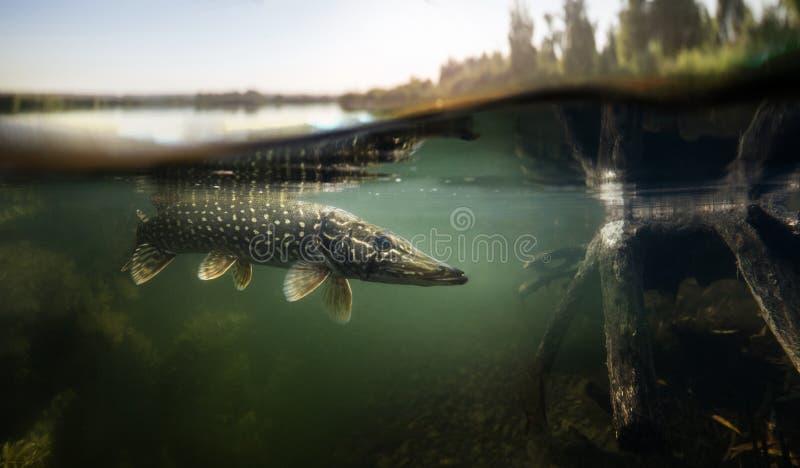 Underwater Pike predator. stock photography