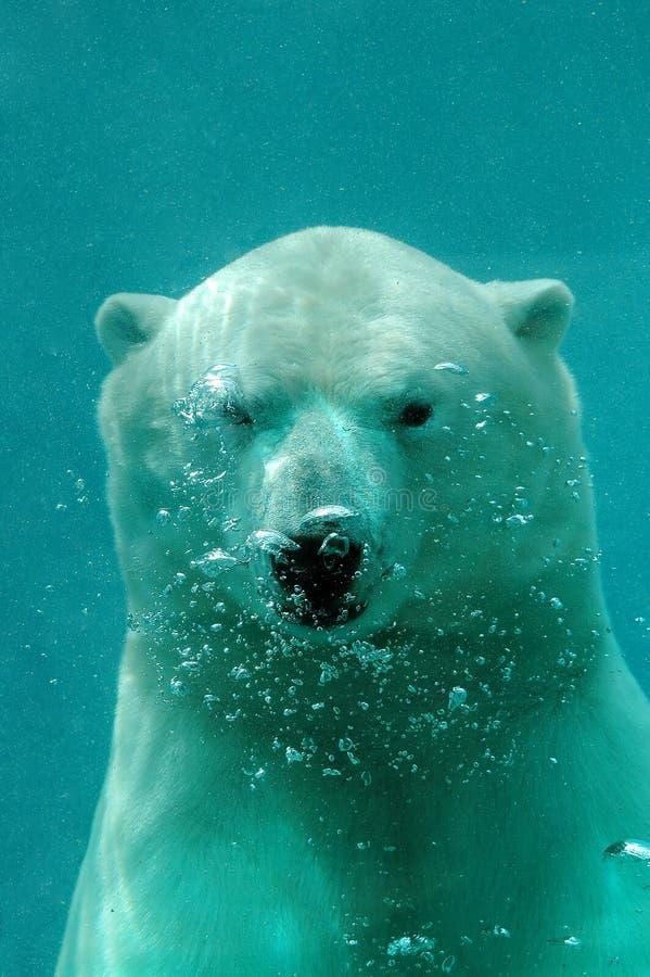 Underwater polar bear royalty free stock image