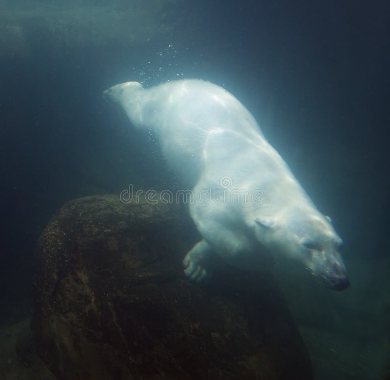 Download Underwater Polar Bear stock image. Image of swimming, arctic - 5376855