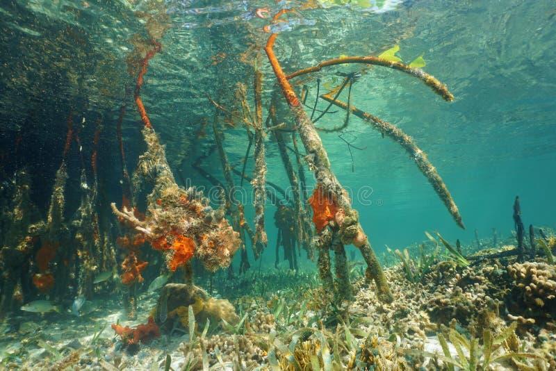 Underwater roots of red mangrove Rhizophora mangle stock image