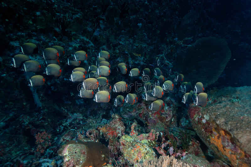 Underwater scene schooling fish aceh indonesia scuba royalty free stock images