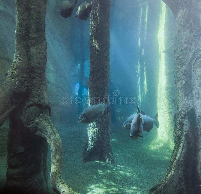 Underwater scenery with Tambaqui fishes royalty free stock photography