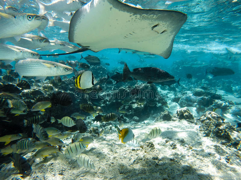 Underwater sea creatures stingray in Tahiti. DCIM100GOPRO Underwater fishes and stingrays tahiti stock images