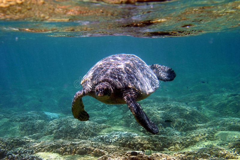 Underwater Sea Turtle. A Green Sea Turtle Swimming Towards the Camera in Hawaii