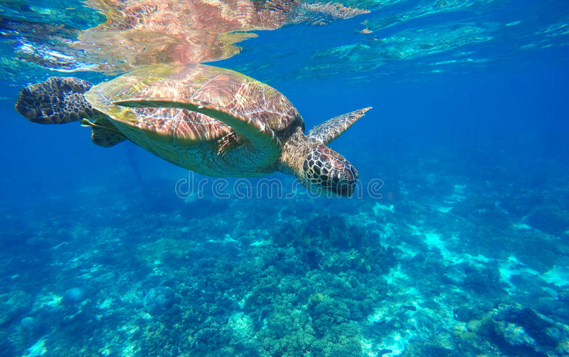 Underwater sea turtle close photo. Green tortoise in blue lagoon. Lovely sea turtle closeup. Green turtle swimming in ocean. Snorkeling with animal. Tropical royalty free stock photography