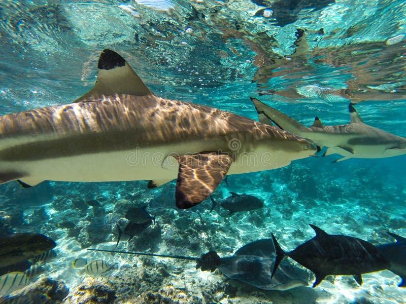 Underwater sharks and sea creatures in Moorea Tahiti. DCIM100GOPRO Underwater secreature, sharks, stingrays and fishes Tahiti Moorea stock photography