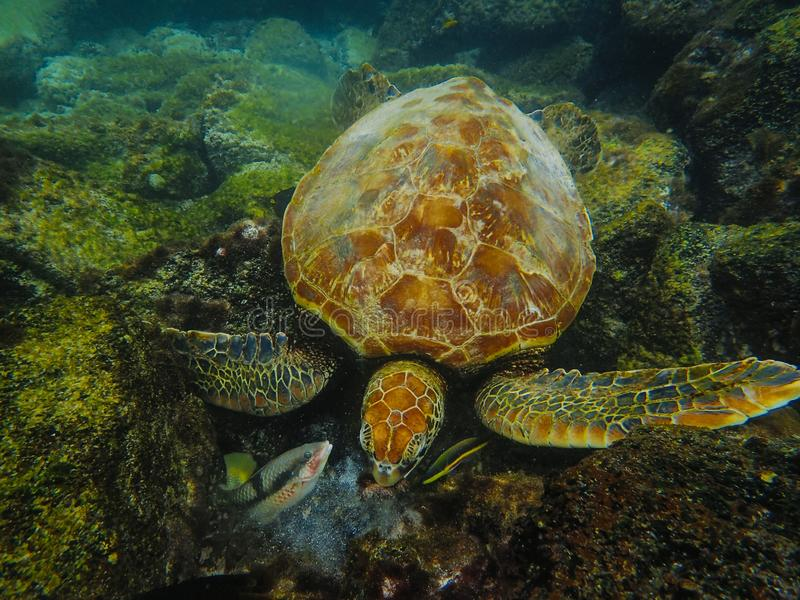 Underwater shot of a gigantic sea turtle on a big stone, and two types of fish royalty free stock photos