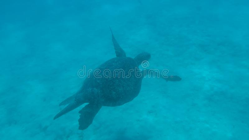 Underwater shot of a sea turtle at south plazas in the galapagos. Islands, ecuador royalty free stock photo