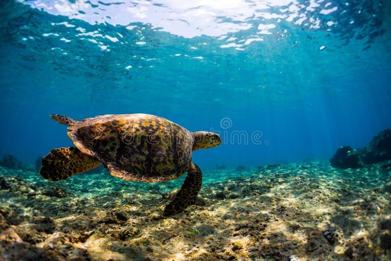 Underwater shot of the sea turtle stock image