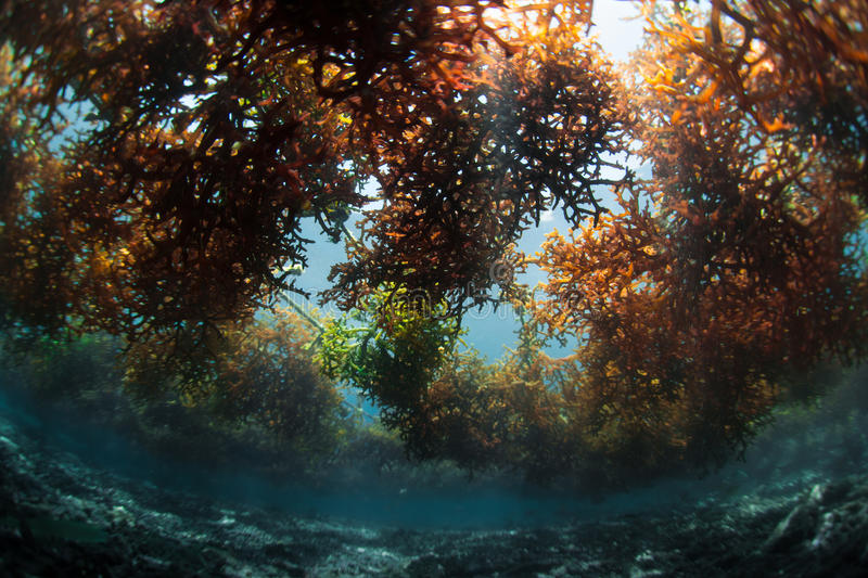Underwater shot of sea weed royalty free stock photography