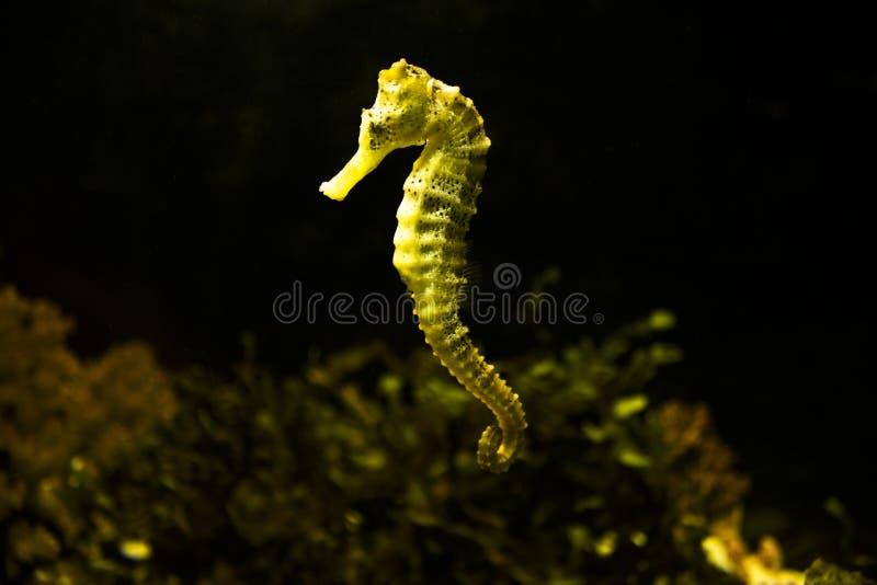 Sea horse royalty free stock image