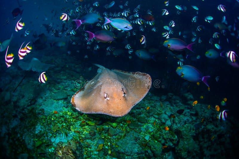 Underwater shot of the stingray stock image