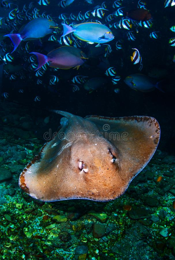 Underwater shot of the stingray royalty free stock photography