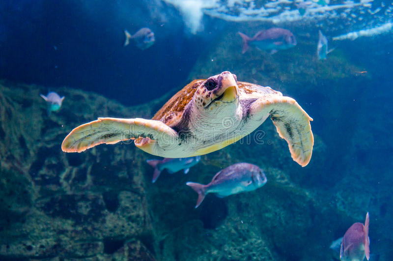 Underwater swimming tropical Green Sea Turtle.  royalty free stock photography