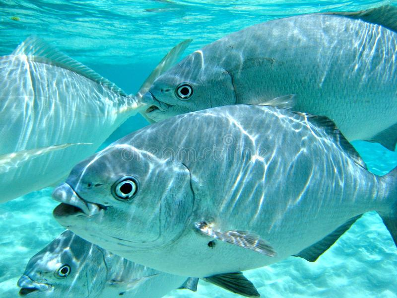 Underwater trevally at Lord Howe Island royalty free stock photos