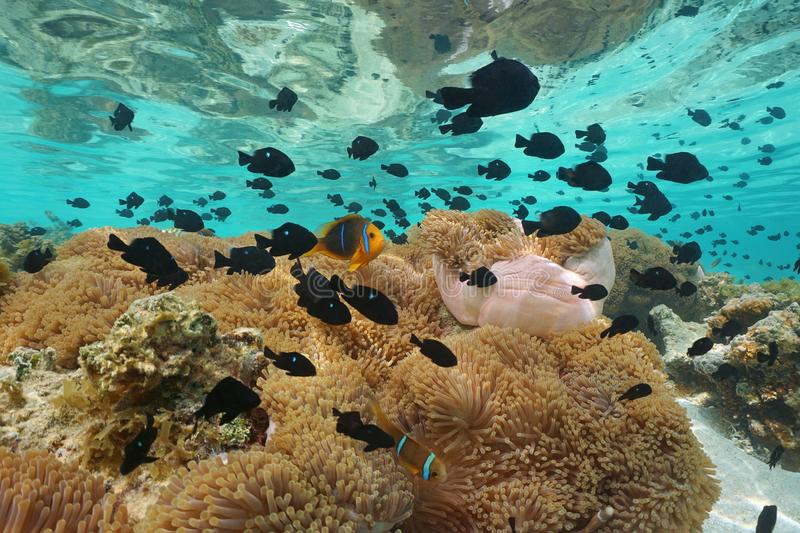 Underwater tropical fish and sea anemones. Underwater a school of tropical fish mostly damselfish with some clownfish and sea anemones, lagoon of Huahine island stock images