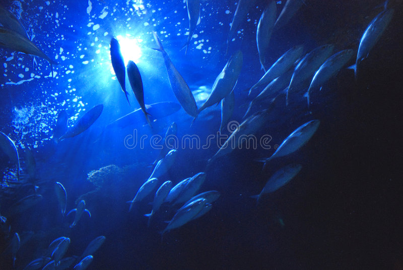 Underwater tuna. An underwater view looking upward to a school of blue fin tuna with sunlight shining through the deep blue water