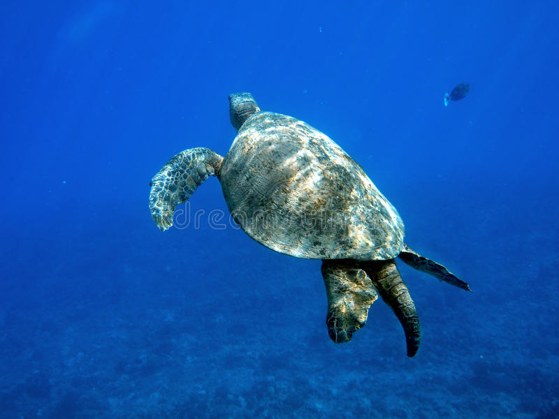 Underwater turtle stock photo