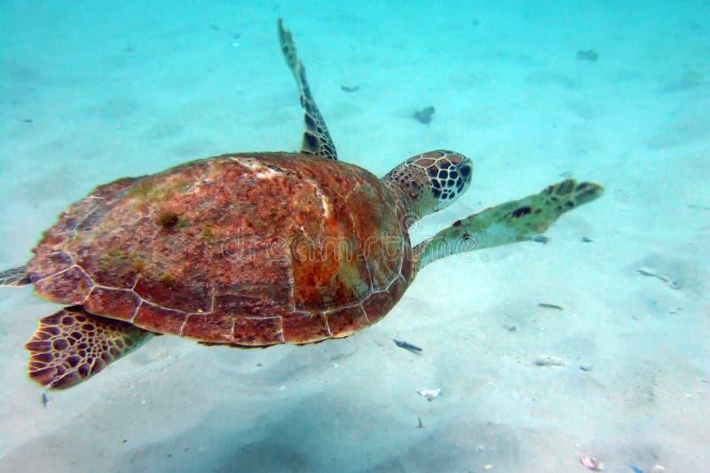 Download Underwater Turtle Stock Photo - Image: 4289930