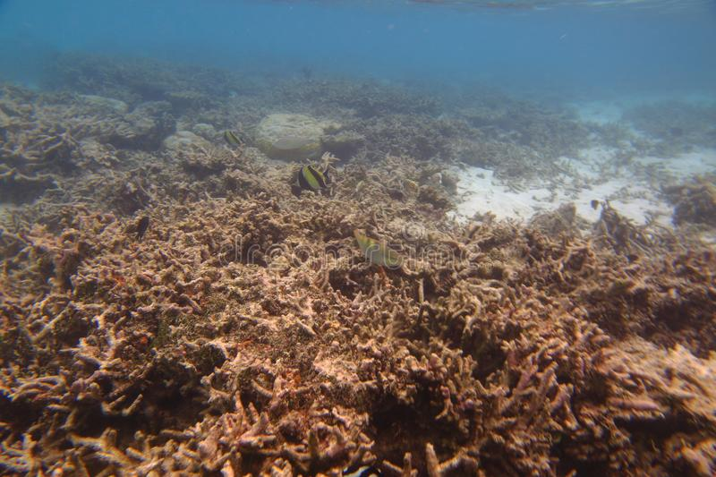 Underwater view of dead coral reefs and beautiful fishes. Snorkeling. Indian ocean. stock photo