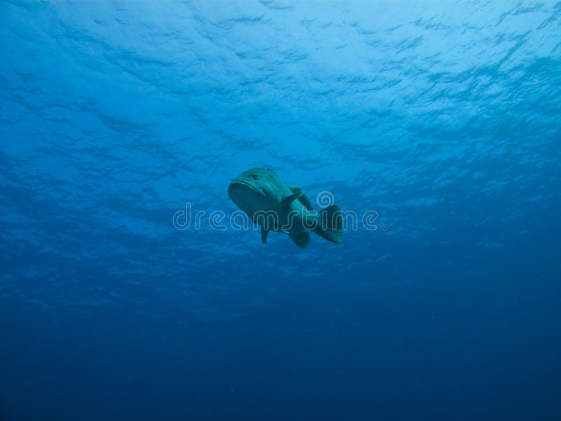 Download Underwater View Of Giant Potato Cod, GB Reef AU Stock Image - Image: 11990013