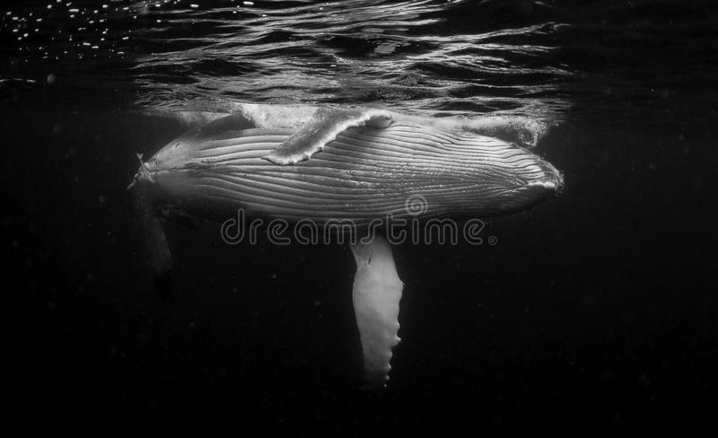 Underwater view of a humpback whale calf as it comes up to breath. Humpback whale calf on the surface as it's mother watches from below, Vavau Tonga royalty free stock photo