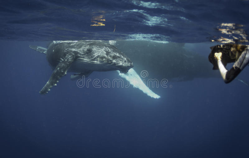 Underwater view of a humpback whale calf as it comes up to breath. Humpback whale calf on the surface, Vavau Tonga stock image