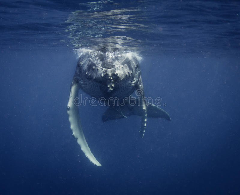 Underwater view of a humpback whale calf as it comes up to breath. Humpback whale calf on the surface, Vavau Tonga stock photos