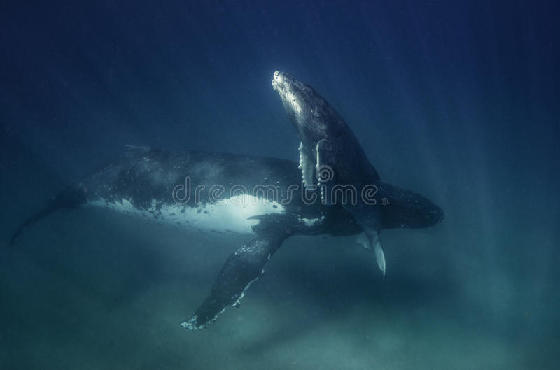 Underwater view of a humpback whale mother and calf. Humpback whale calf ascending to breath, Vavau Tonga royalty free stock photos
