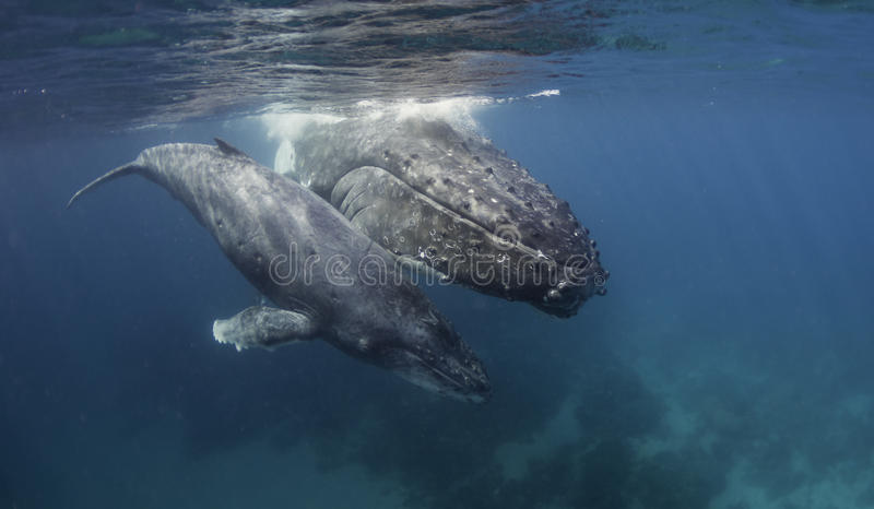 Underwater view og humpback whale mother and calf. Humpback whales on the surface, Vavau Tonga royalty free stock photos