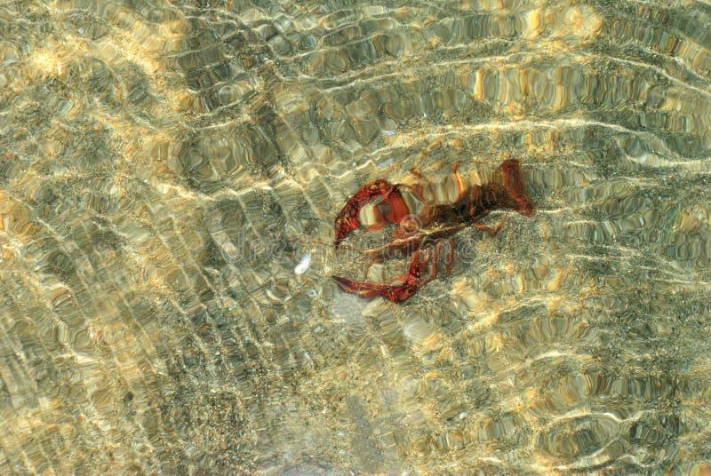 Underwater vivo agarrado da lagosta do mar fotografia de stock