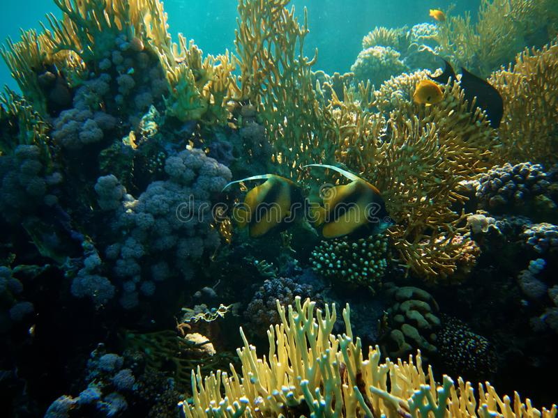 Underwater photo of Red Sea bannerfish in coral reefs stock photo