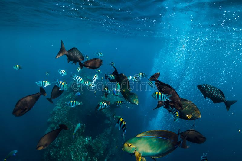 Underwater wild world with school of fish in ocean. Underwater wild world with school of fish in blue ocean stock images