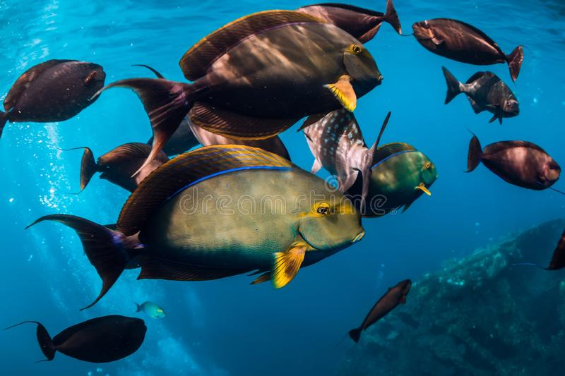 Underwater wild world with school of fish in ocean. Underwater wild world with school of fish in blue ocean stock photos