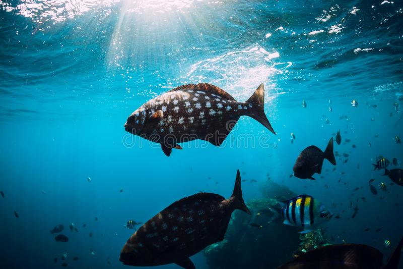 Underwater wild world with school of fish in ocean. Underwater wild world with school of fish in blue ocean royalty free stock images