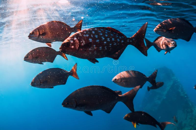 Underwater wild world with school of fish in blue sea. Underwater wild world with school of fish in blue ocean stock images