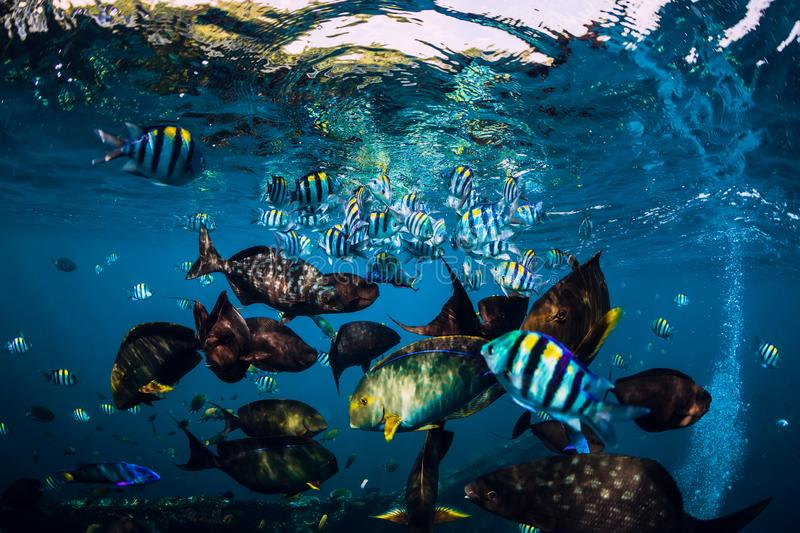 Underwater wild world with school of fish in ocean. Underwater wild world with school of fish in blue ocean royalty free stock image