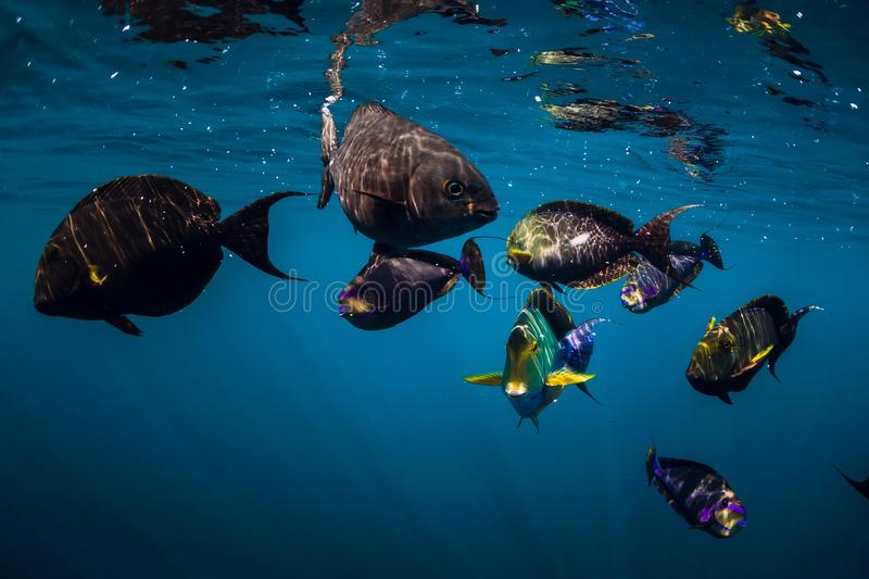 Underwater wild world with school of fish in ocean. Underwater wild world with school of fish in blue ocean stock image